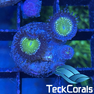 Zoa/Paly Granny Apple Smith
